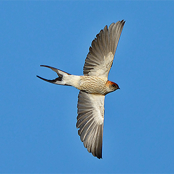 Greater Striped-swallow