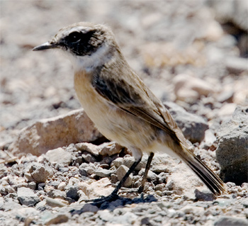Canary Island Stonechat