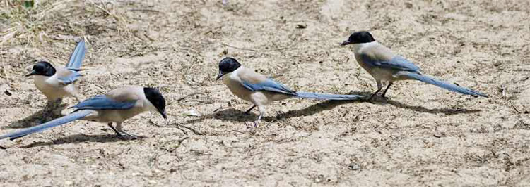 Iberian Magpies