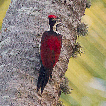 Crimson-backed Flameback