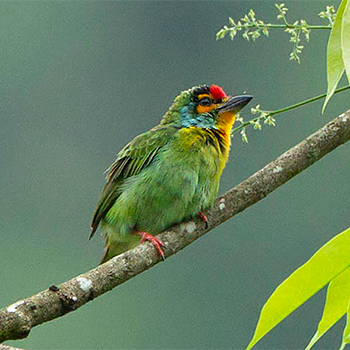Crimson-fronted Barbet