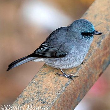 Dull-blue Flycatcher