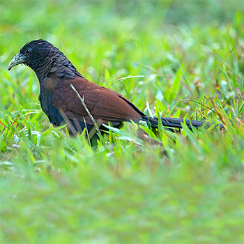 Green-billed Coucal