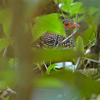 Sri Lanka Spurfowl