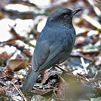 Sri Lanka Whistling-thrush