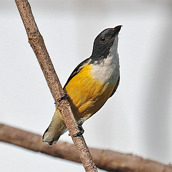 White-throated Flowerpecker