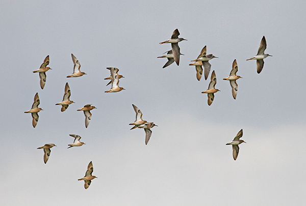 Buff-breasted Sandpipers with Lesser Yellowlegs and Pectoral Sandpipers