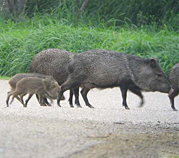 Collard Peccaries