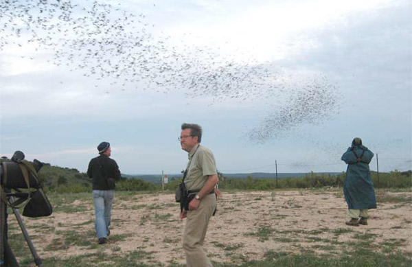 Mexican Free-tailed Bats at Frio Bat Cave