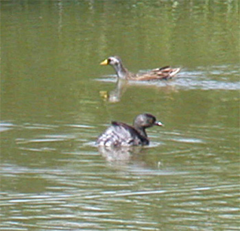 Sora and Least Grebe