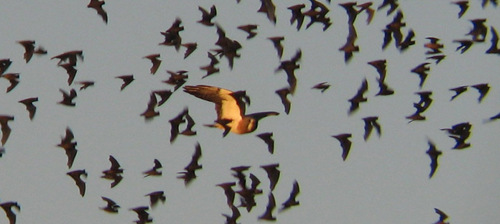 Swainson's Hawk and Mexican Free-tailed Bats