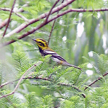 Townsend's × Black-throated Green Warbler hybrid