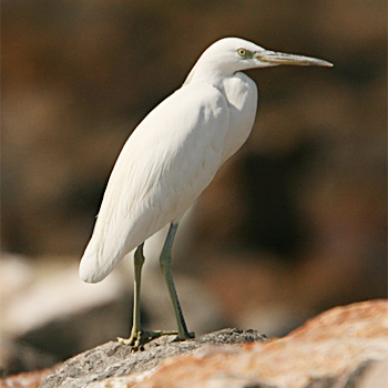 Pacific Reef-egret