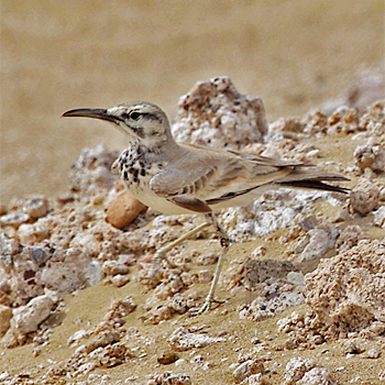 Greater Hoopoe-lark