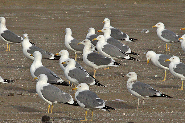 Lesser Black-backed (Heuglin's and Steppe) Gulls