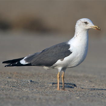 Lesser Black-backed (Heuglin's) Gull