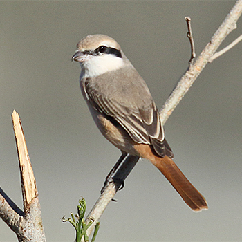 Red-tailed (Turkestan) Shrike