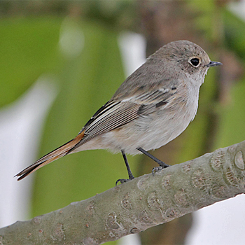 Rufous-backed Redstart