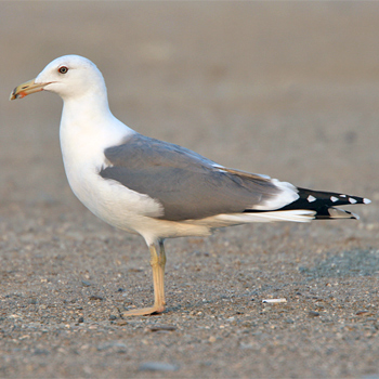 Lesser Black-backed (Steppe) Gull