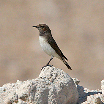Variable Wheatear